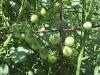 cerrytomatoes07