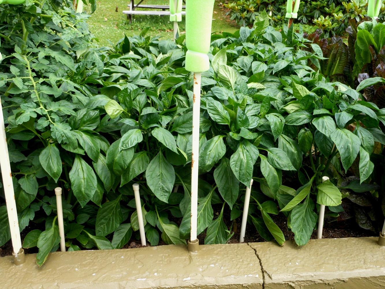 05-28-14_Bell_Pepper_Plants