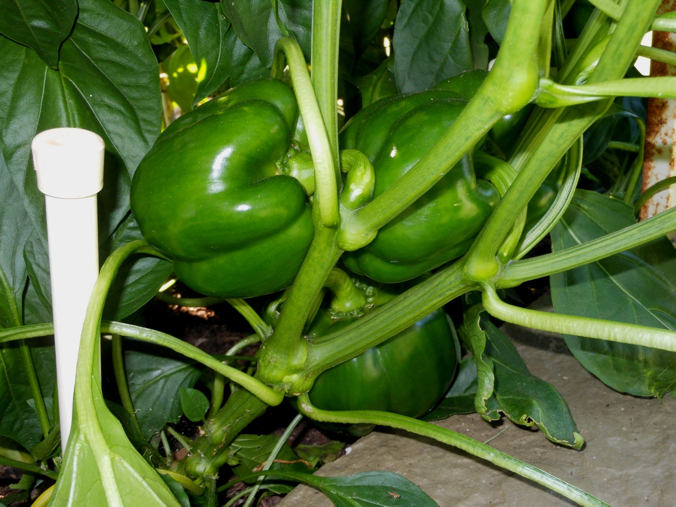 06-15-14_Bell_Pepper_Plants_04