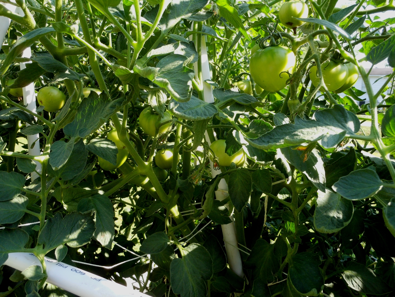 06-15-14_Early_Girl_Tomato_Plant_03