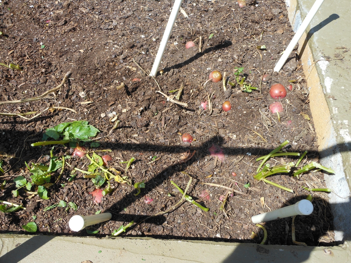 06-27-14_Picking_Potatoes_03