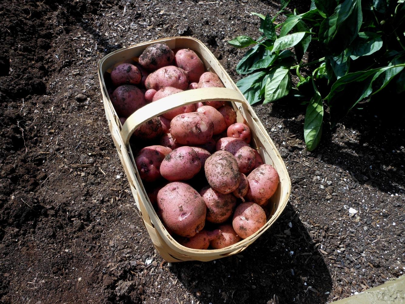 06-27-14_Picking_Potatoes_05