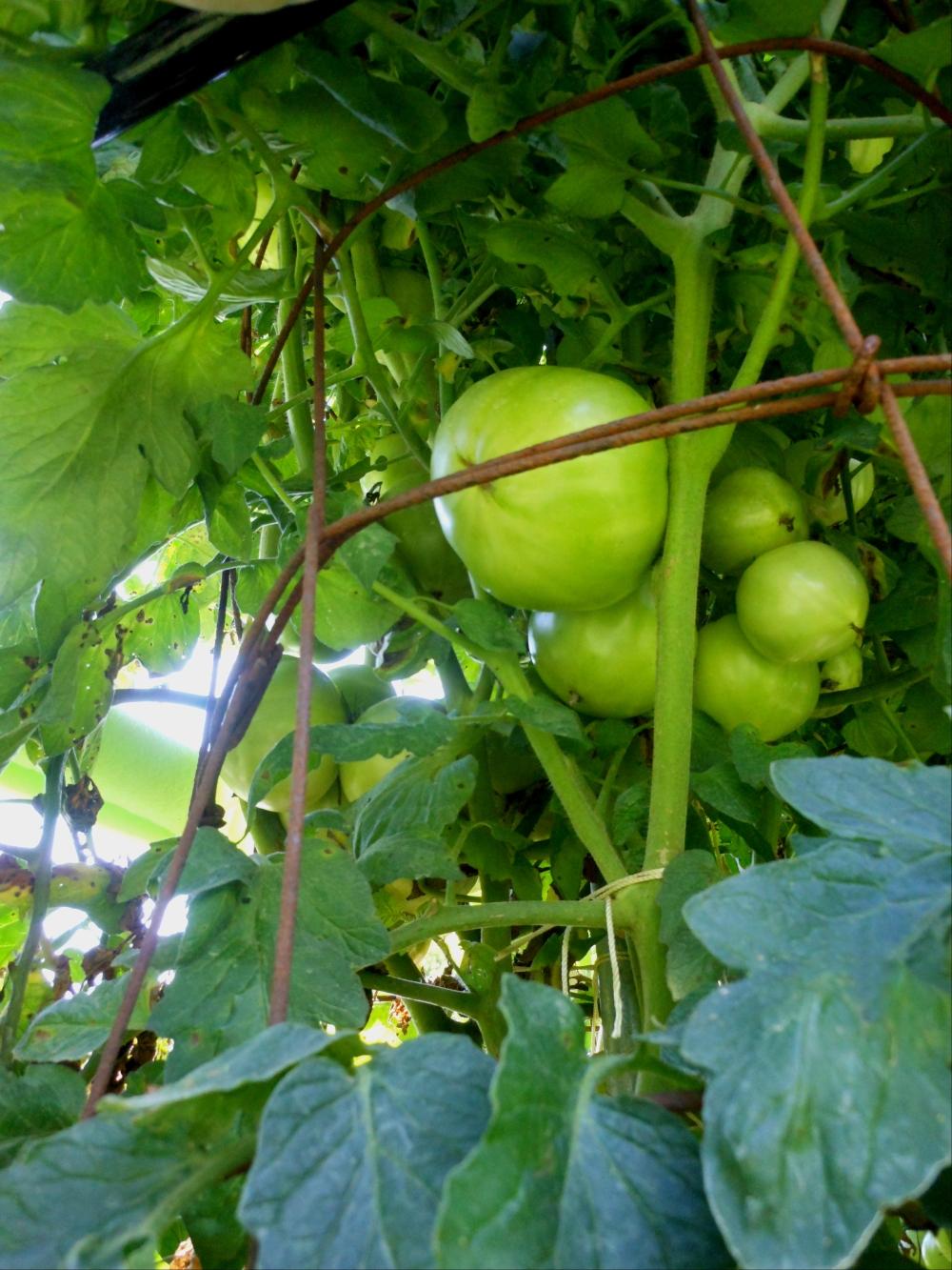07-11-14_BetterBoy_Mass_Of_Tomatoes_05