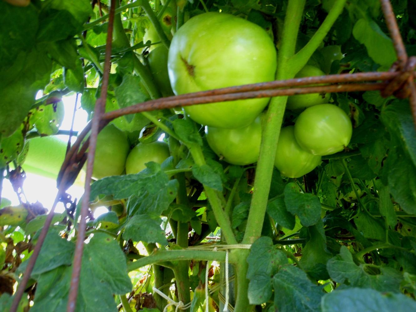 07-11-14_BetterBoy_Mass_Of_Tomatoes_06
