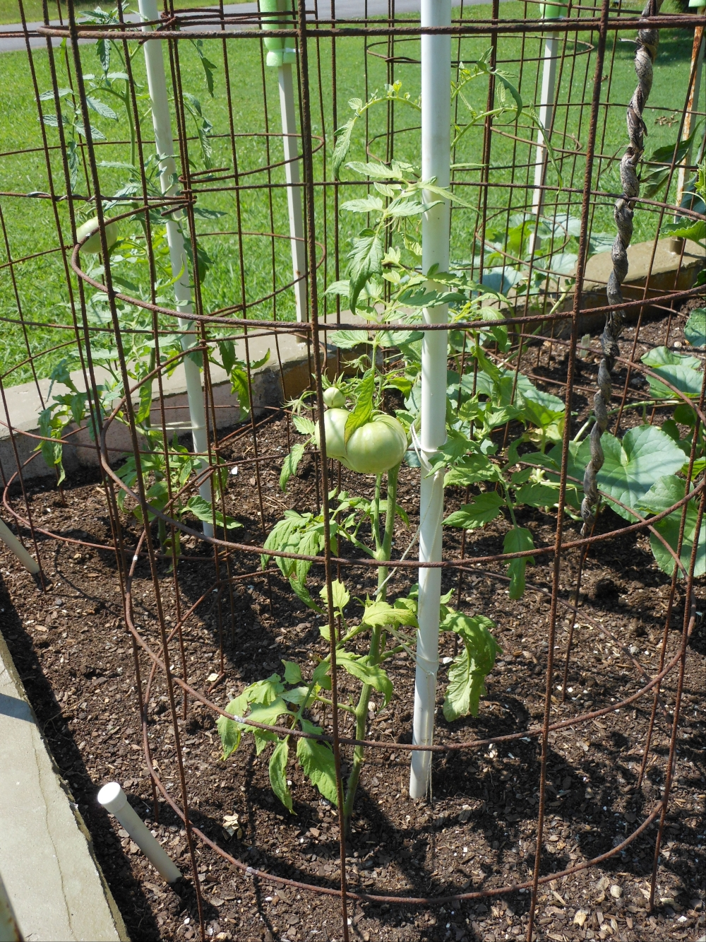 07-11-14_Just_Planted_Beefsteak_Tomato_Plants_01