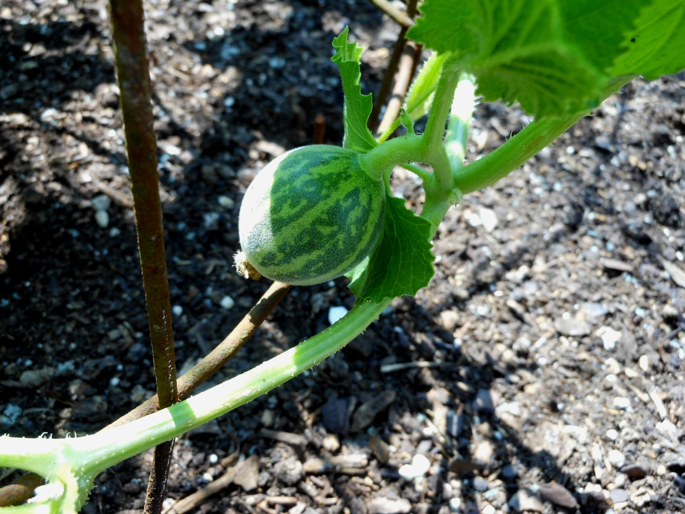 07-11-14_Just_Planted_Tigger_Melon_Plant_01