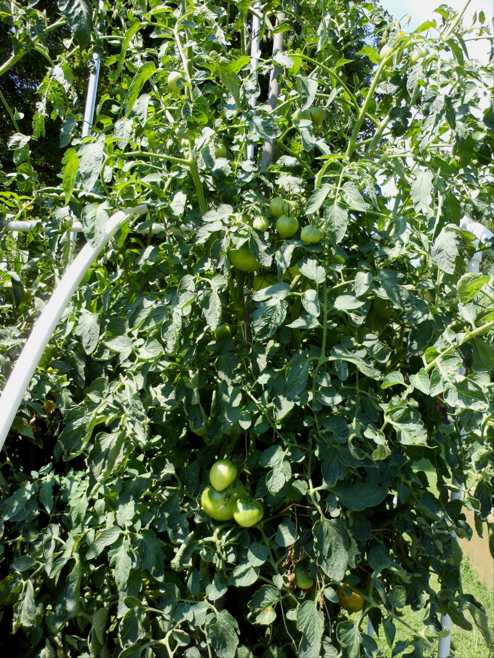 07-11-14_Tomatoes_New_Garden_03