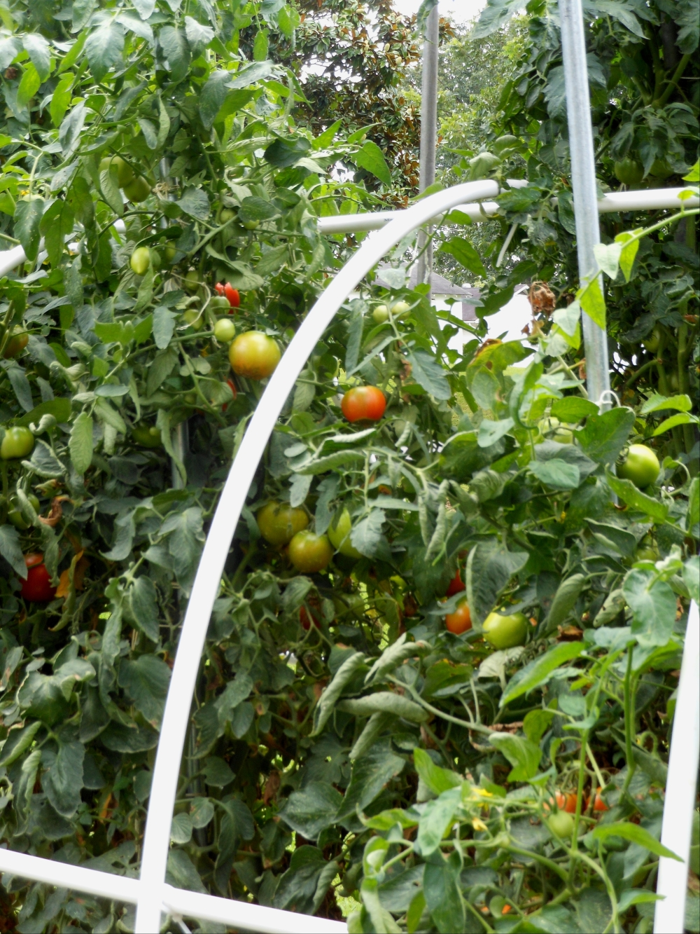 how to grow more tomatoes per plant