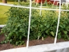 05-24-14_NewGardenTomatoPlants-02