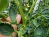 05-28-14_Rutgers_Tomato_Plant