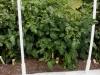 06-03-14_Health_Kick_Tomato_Plant_01