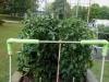 06-03-14_OriginalGardenBetterBoyTomatoPlants-01