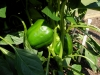 06-15-14_Bell_Pepper_Plants_06