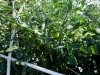 06-15-14_Early_Girl_Tomato_Plant_02