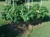 06-15-14_Norland_Potato_Plants_02