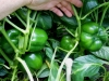 06-27-14_Bell_Pepper_Plants_04