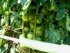 07-11-14_BetterBoy_Mass_Of_Tomatoes_01