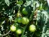 07-11-14_Tomatoes_New_Garden_01