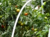 08-01-2014_Tomato_Plants_New_Garden_04