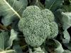 12-01-2014 Broccoli 01