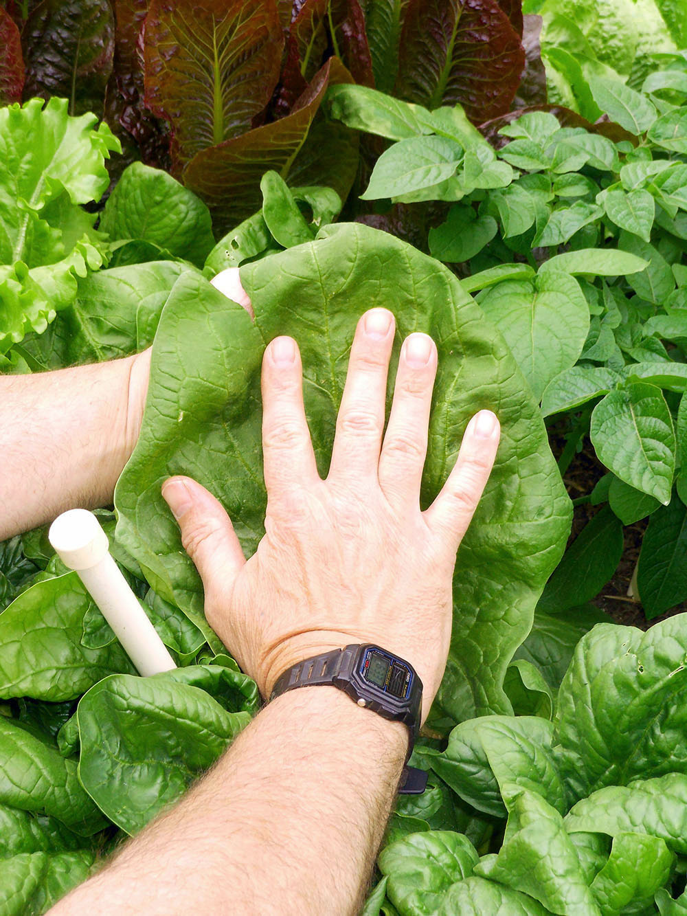 04-24-2014 Giant Spinach Leaves 02.jpg