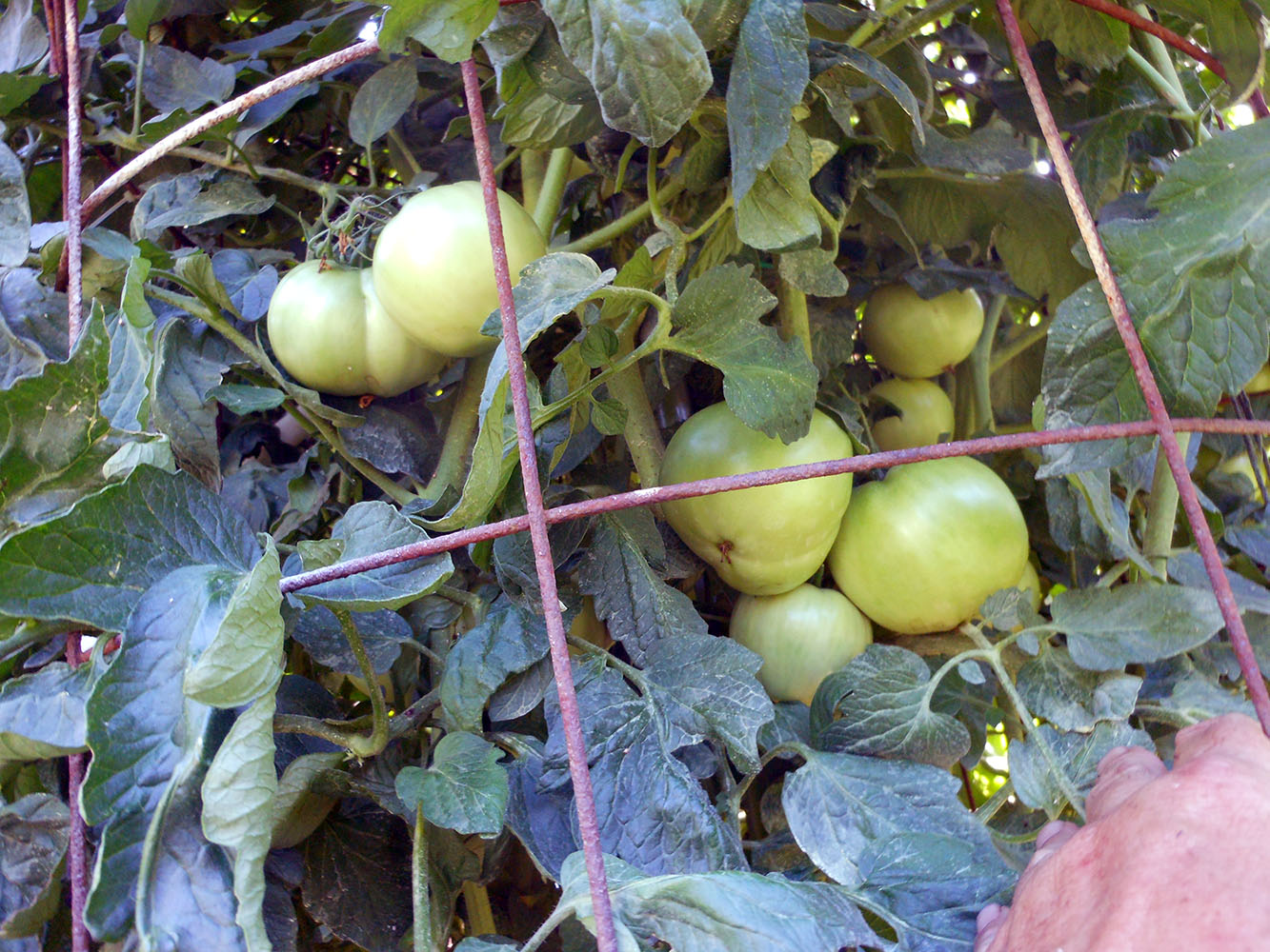 06-25-2015 Garden 01 Better Boy Tomatoes 02
