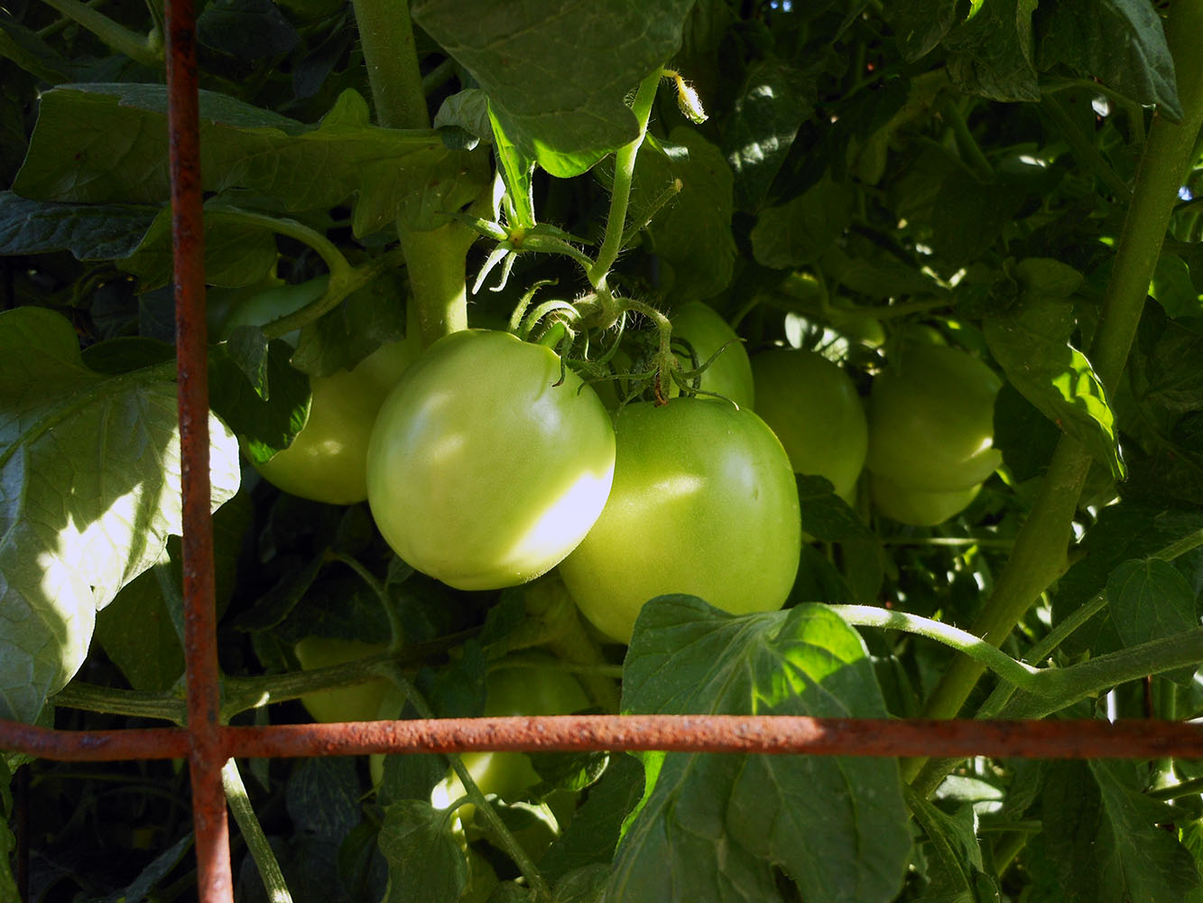 06-25-2015 Garden 01 Husky Cherry Red Tomatoes 01