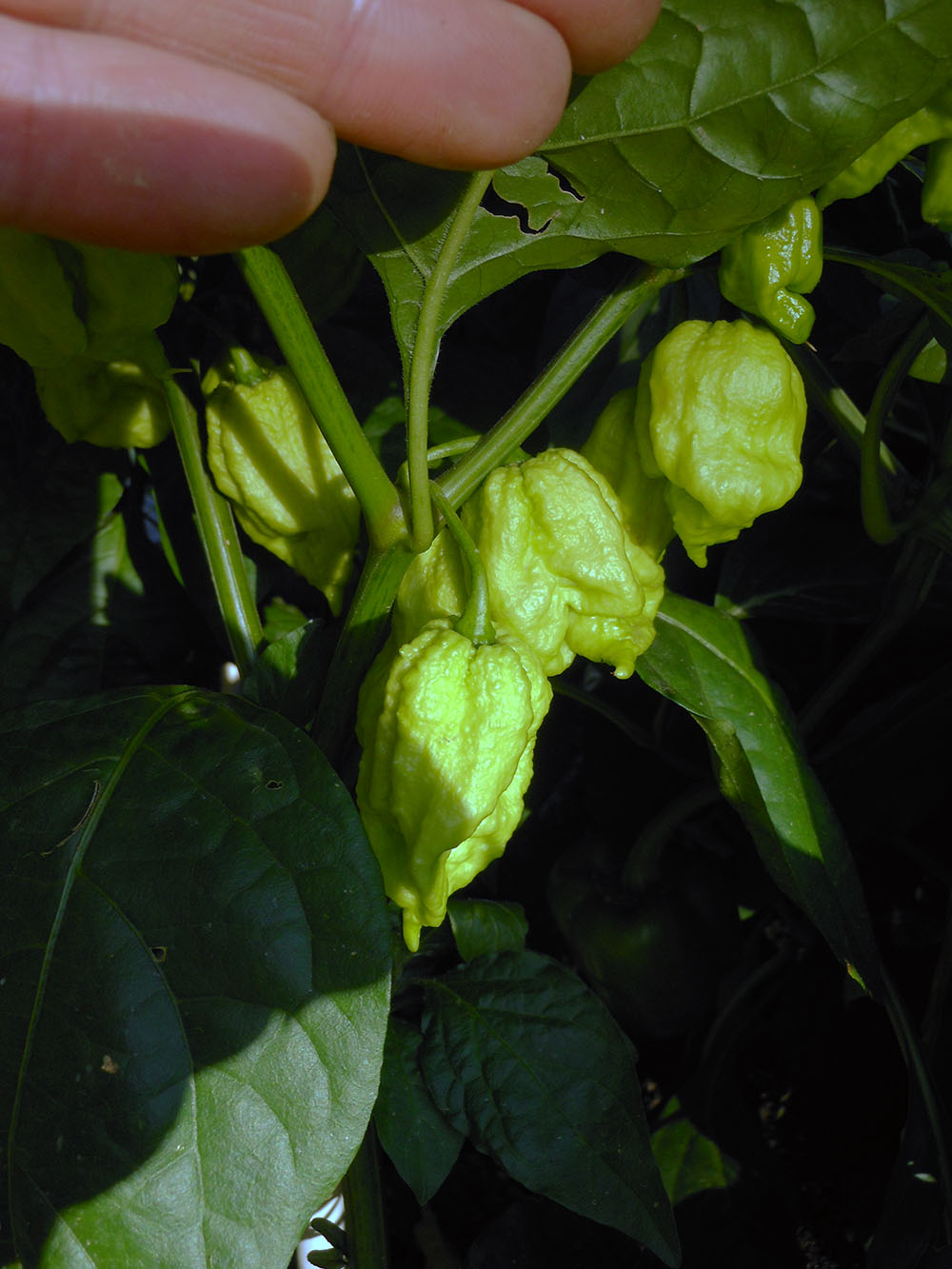 06-25-2015 Garden 01 Trinidad Scorpion HOT Peppers 01