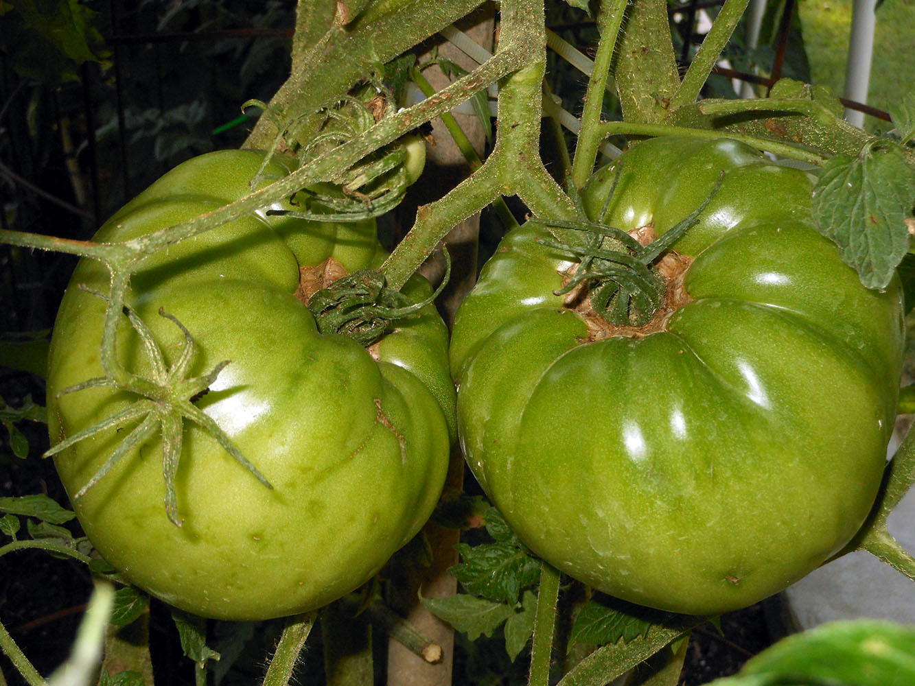 06-25-2015 Garden 02 Better Boy Tomatoes 01