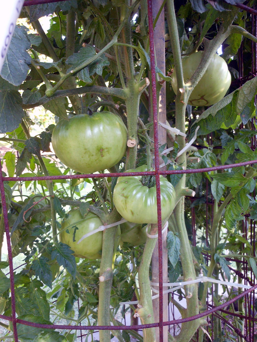 06-25-2015 Garden 02 Better Boy Tomatoes 03