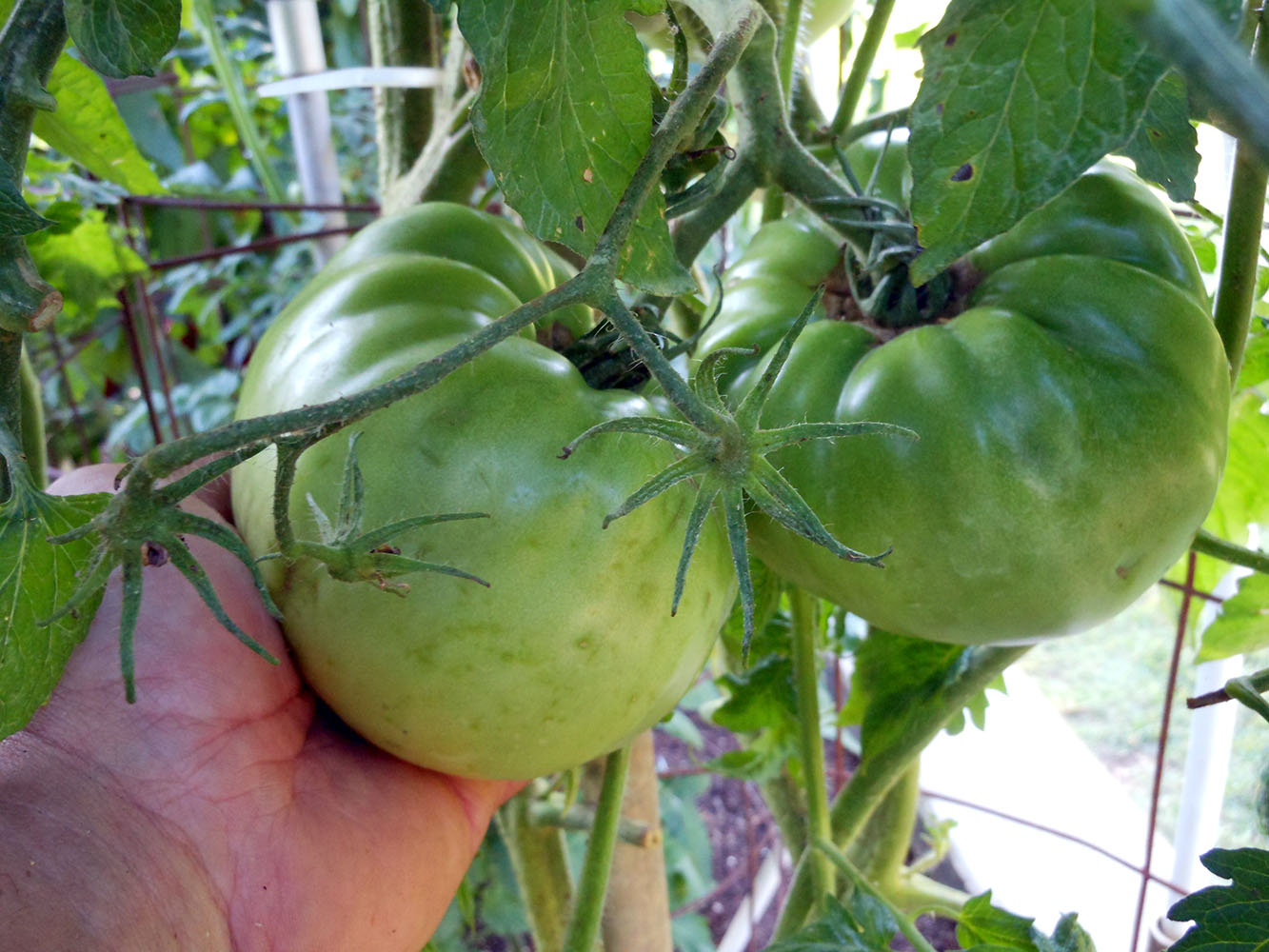 06-25-2015 Garden 02 Better Boy Tomatoes 09
