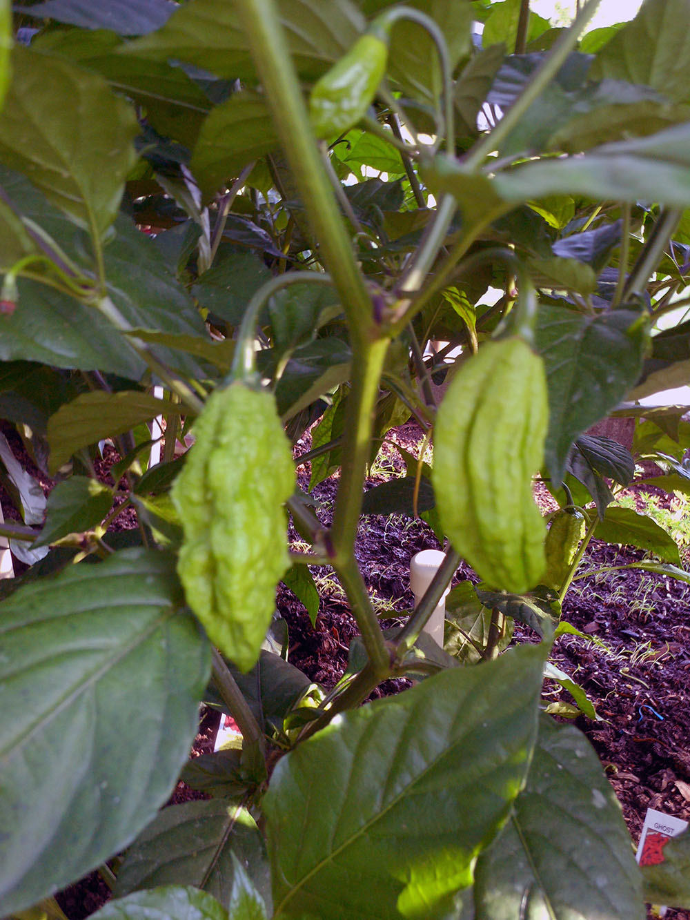 06-25-2015 Garden 02 Ghost HOT Peppers 01
