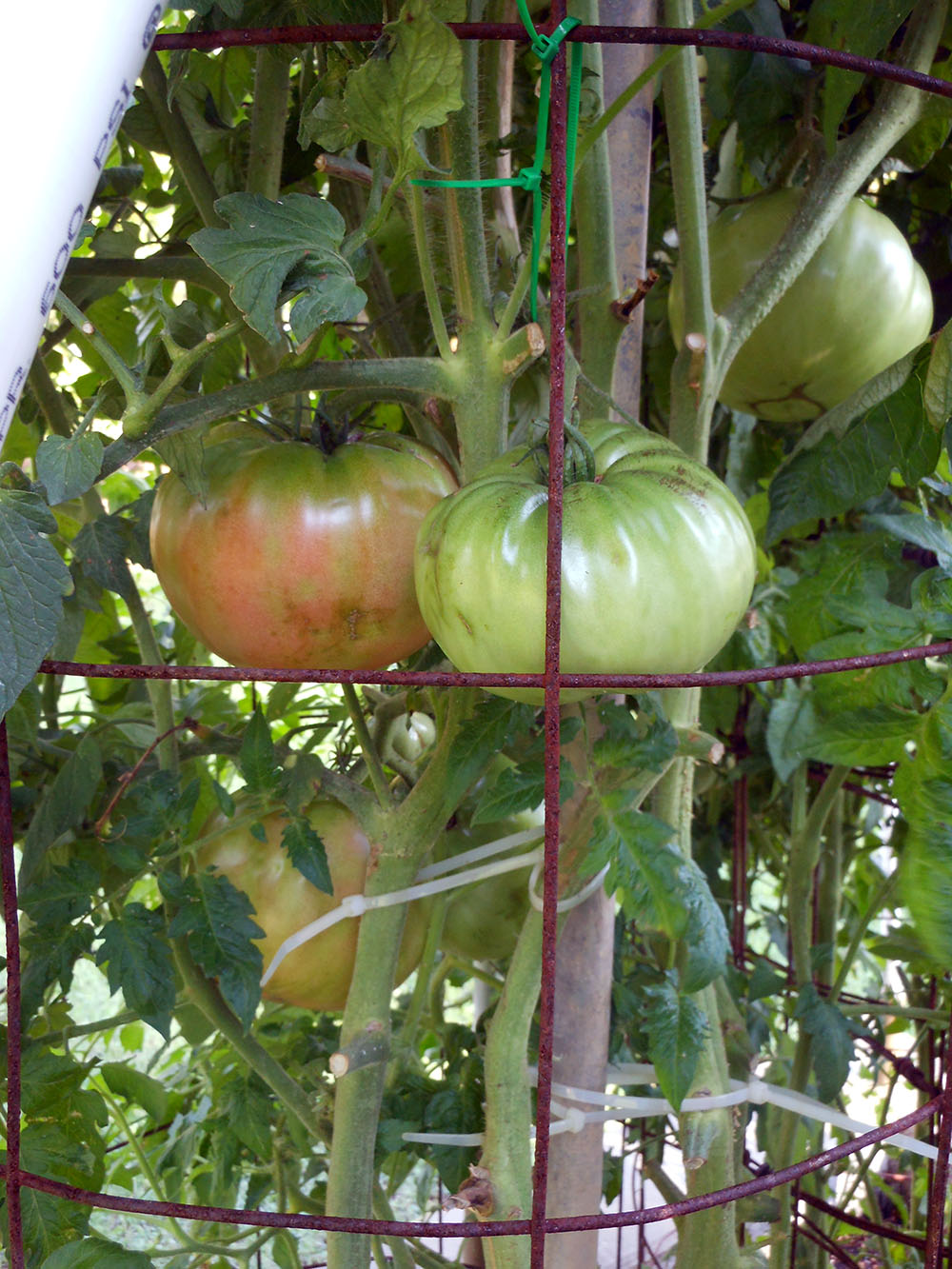 07-03-2015 Garden No 2 Giant Better Boy Tomatos 01