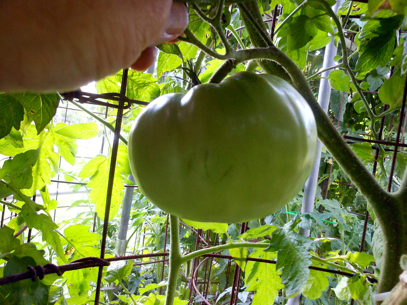 07-03-2015 Garden No 2 Giant Better Boy Tomatos 03