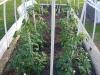 04-21-2015 Garden 1 Better Boy Tomatoe Plants 01.jpg