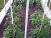 04-21-2015 Garden 2 Tomatoe Plants 01.jpg