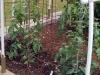 05-26-2015 Garden No 2 New Better Boy Tomato Plants
