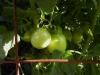 06-25-2015 Garden 01 Husky Cherry Red Tomatoes 01
