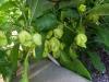 06-25-2015 Garden 01 Xaman Rojo HOT Peppers 01