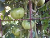 06-25-2015 Garden 02 Better Boy Tomatoes 03