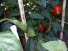 06-25-2015 Garden 02 Sweet Red Bell Peppers 02
