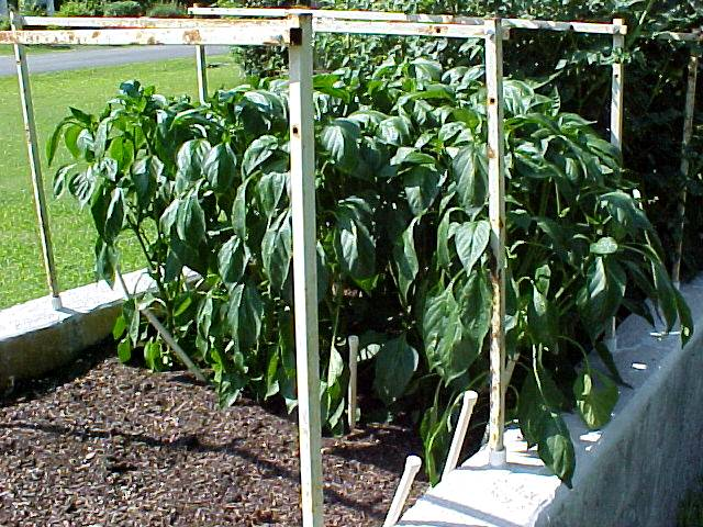 3ft_bell_pepper_plants_01