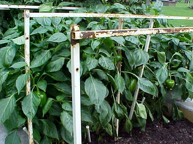 4ft_bell_pepper_plants_01