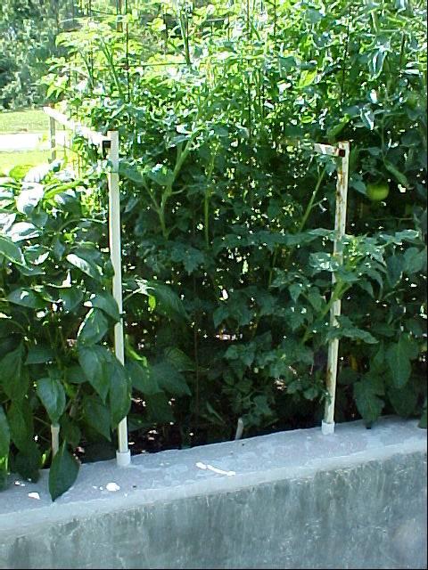 4ft_cherry_tomato_plants_01