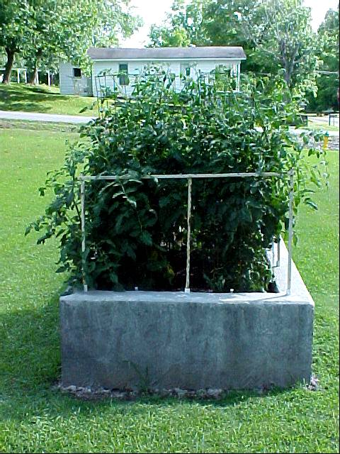 5ft_betterboy_tomato_plants01