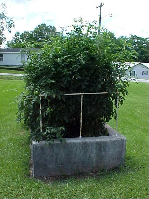 7ft_betterboy_tomato_plants01