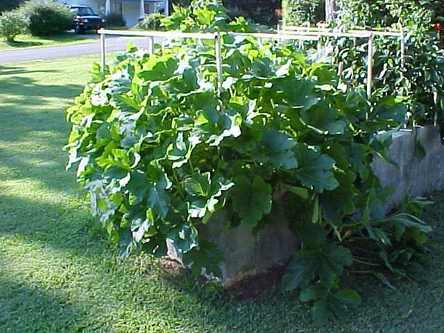 acorn_squash_overgrowing_garden_02
