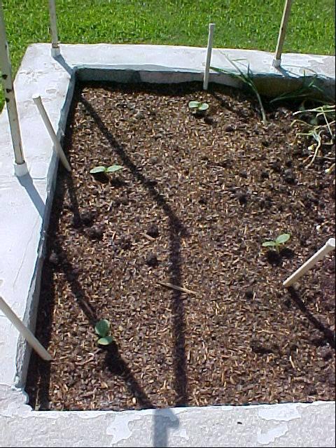 acorn_squash_sprouting