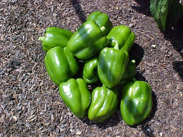 bell_peppers_one_days_picking_02