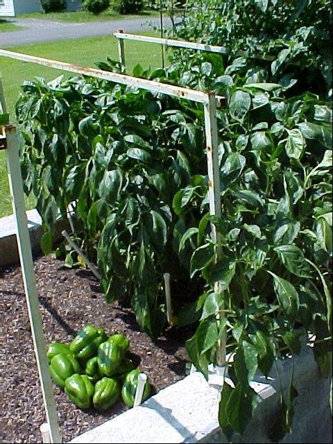 bell_peppers_one_days_picking_03